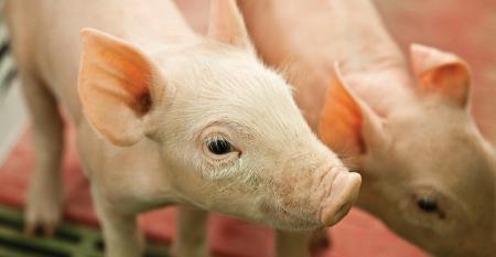 SwineBanner_1540x800.jpg