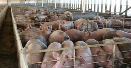 hogs in Iowa finishing barn