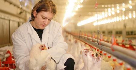 veterinarian checking broiler chickens
