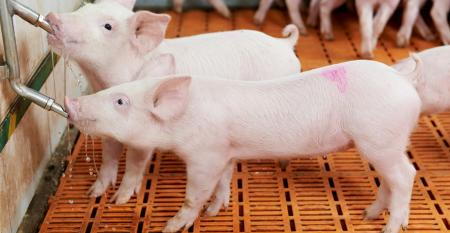 young piglets drinking at pig farm